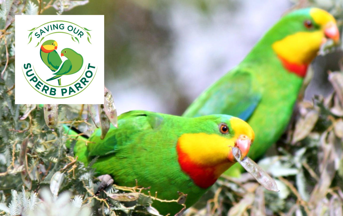 Saving our Superb Parrot